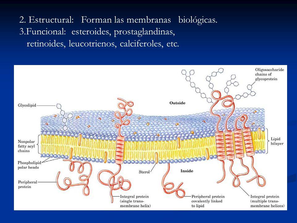 2. Estructural: Forman las membranas biológicas. 3