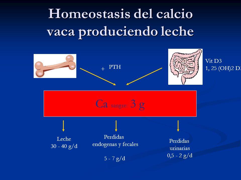 Homeostasis del calcio vaca produciendo leche