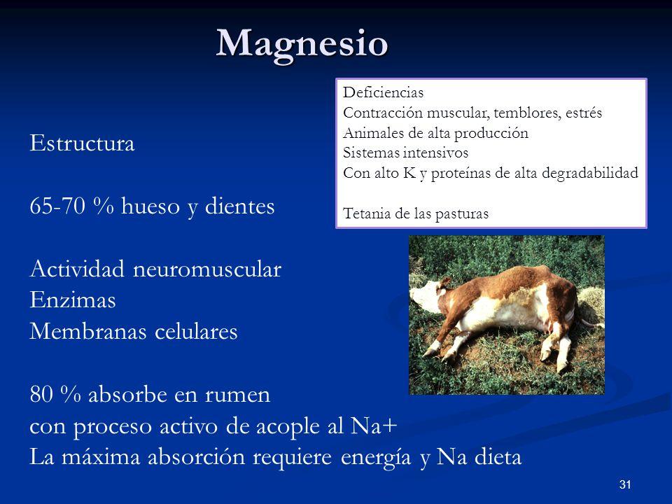 Magnesio Estructura 65-70 % hueso y dientes Actividad neuromuscular