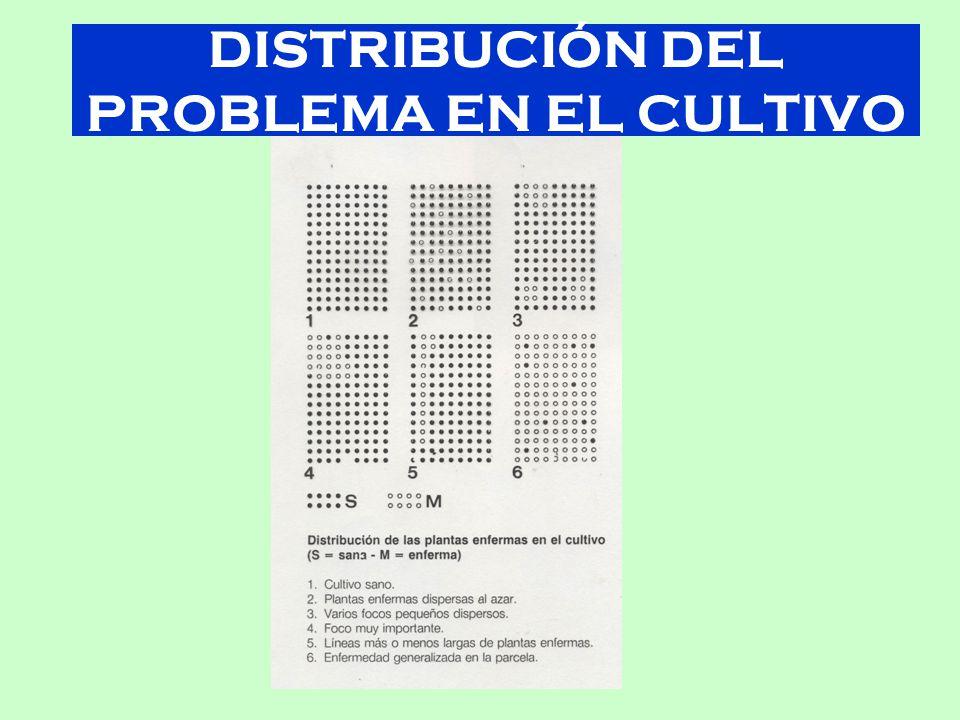 DISTRIBUCIÓN DEL PROBLEMA EN EL CULTIVO