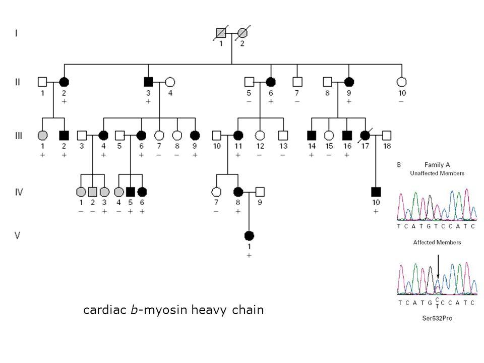 cardiac b-myosin heavy chain