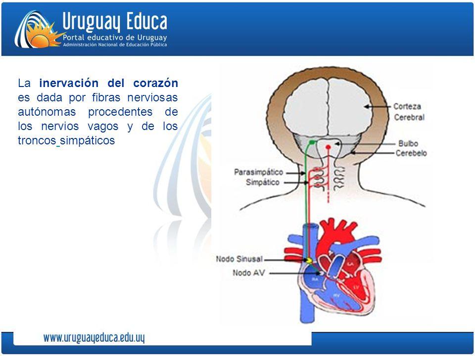 La inervación del corazón es dada por fibras nerviosas autónomas procedentes de los nervios vagos y de los troncos simpáticos