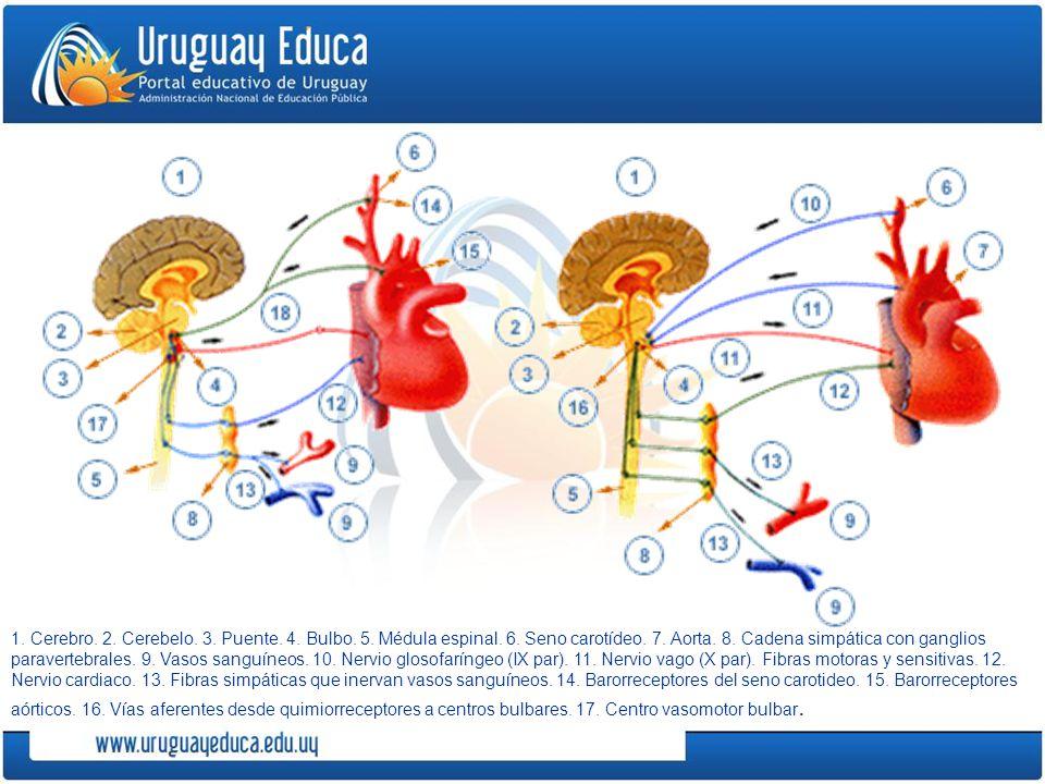 1. Cerebro. 2. Cerebelo. 3. Puente. 4. Bulbo. 5. Médula espinal. 6