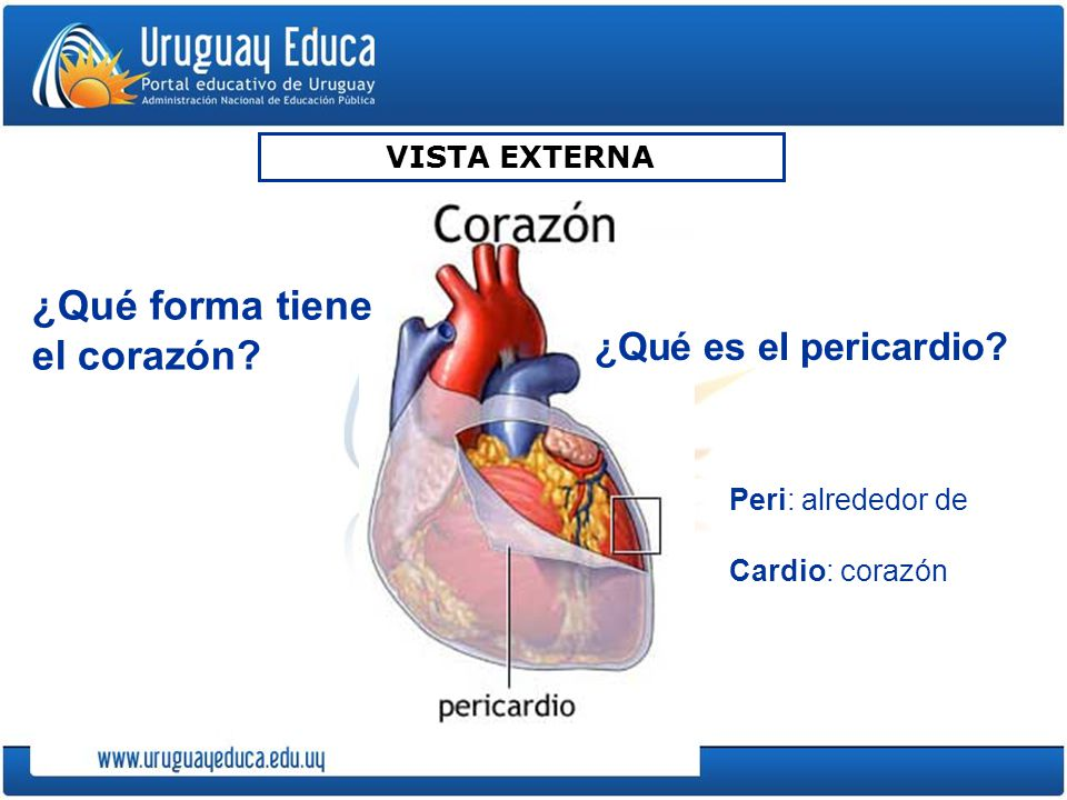 ¿Qué forma tiene el corazón
