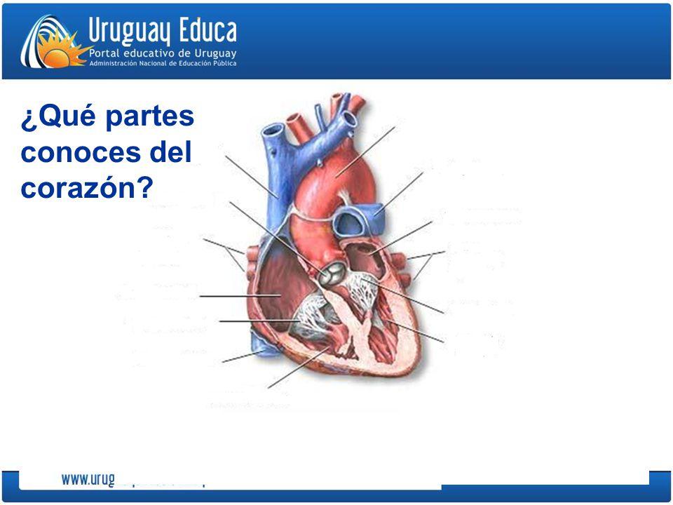 ¿Qué partes conoces del corazón