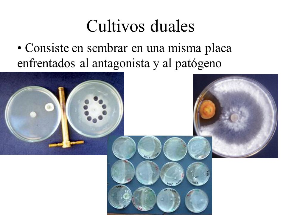 Cultivos duales Consiste en sembrar en una misma placa enfrentados al antagonista y al patógeno