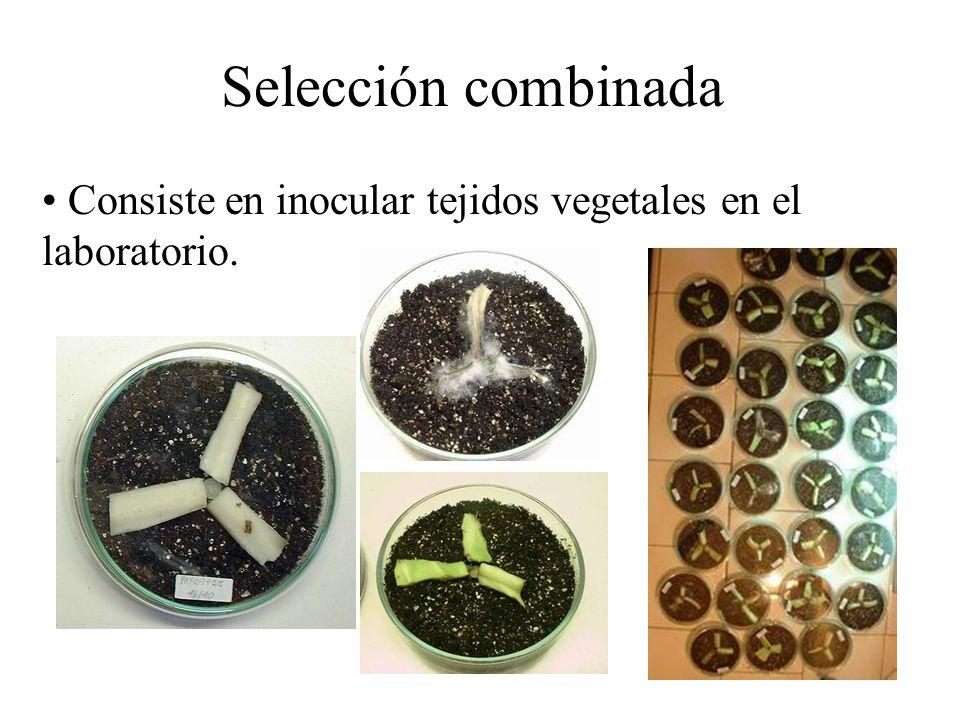 Selección combinada Consiste en inocular tejidos vegetales en el laboratorio.