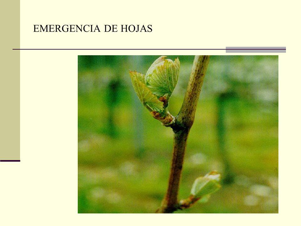 EMERGENCIA DE HOJAS