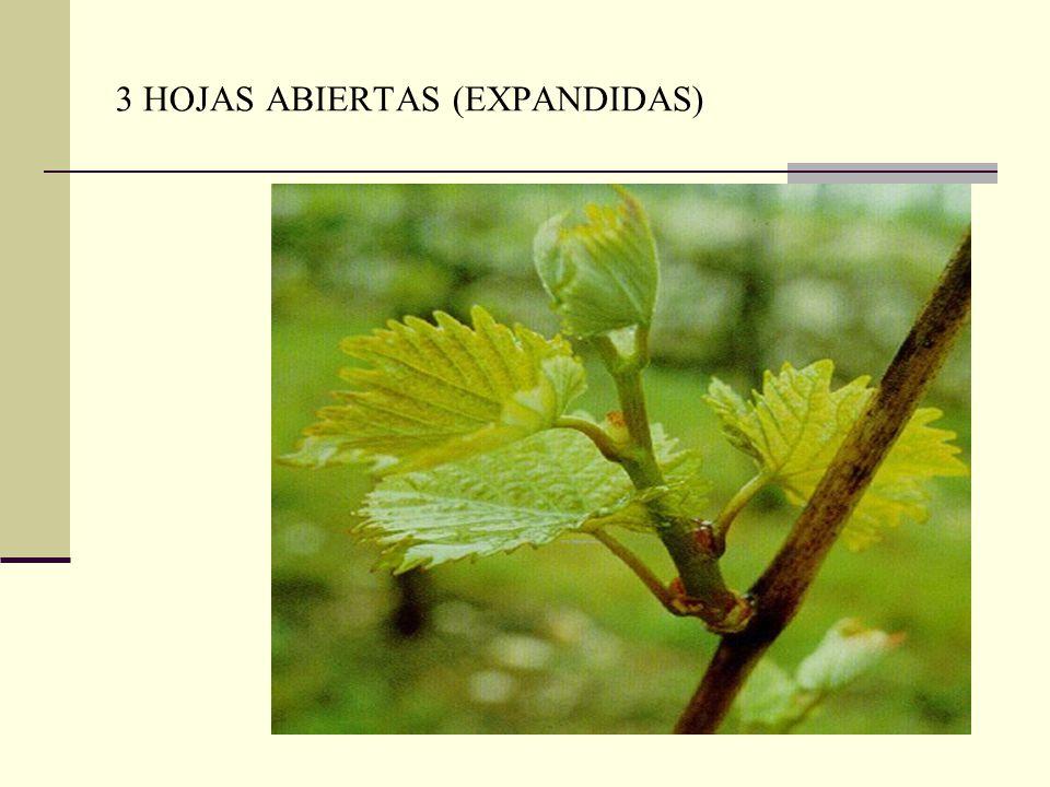3 HOJAS ABIERTAS (EXPANDIDAS)