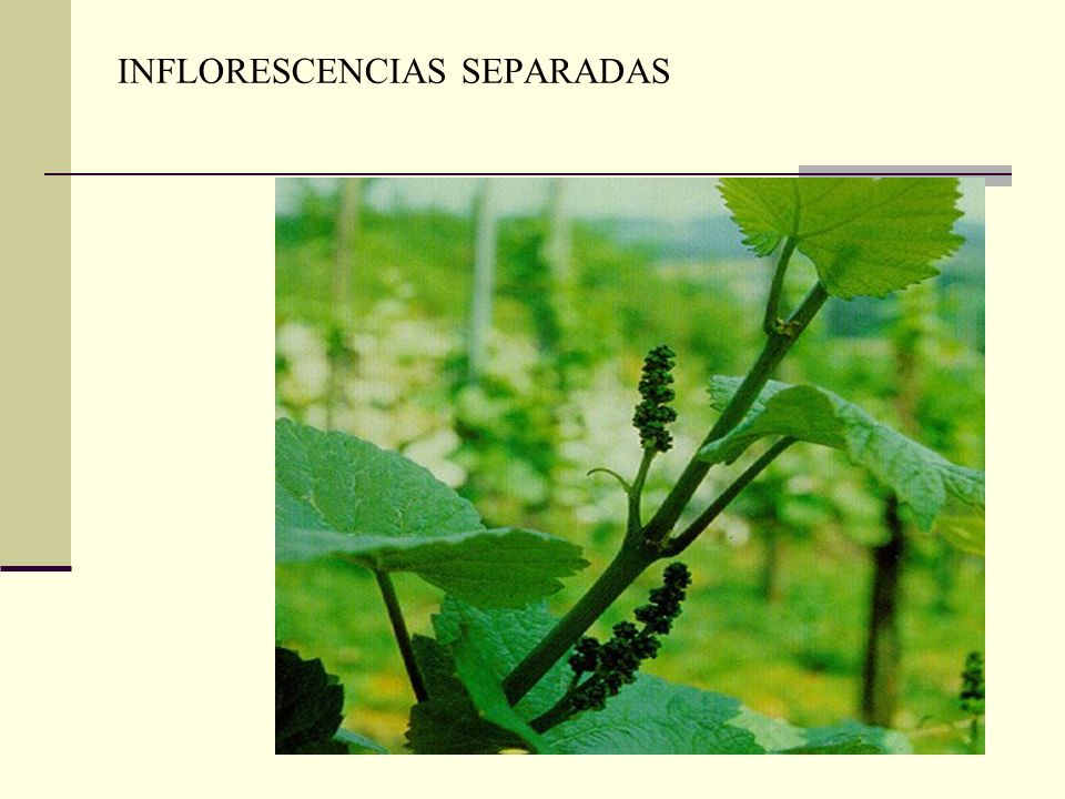 INFLORESCENCIAS SEPARADAS