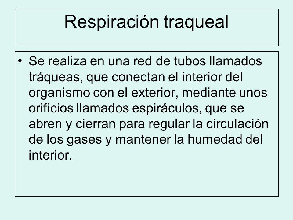 Respiración traqueal