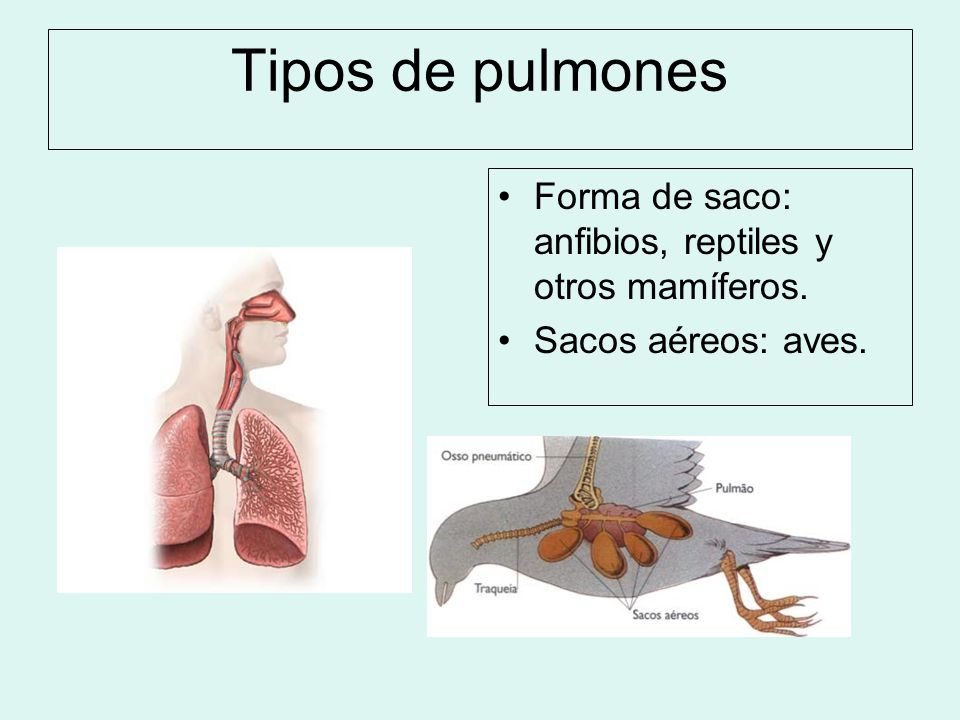 Tipos de pulmones Forma de saco: anfibios, reptiles y otros mamíferos.