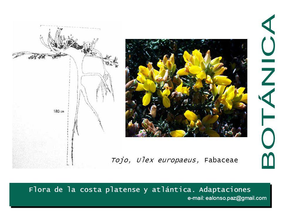 BOTÁNICA Tojo, Ulex europaeus, Fabaceae Iris