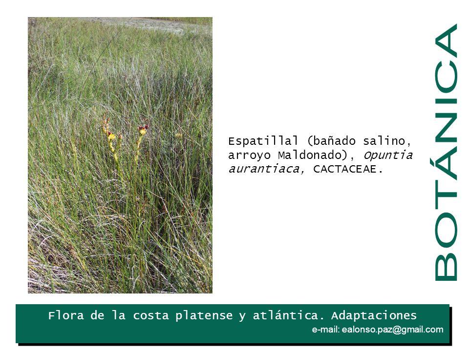 . Espatillal (bañado salino, arroyo Maldonado), Opuntia aurantiaca, CACTACEAE. BOTÁNICA. Iris.