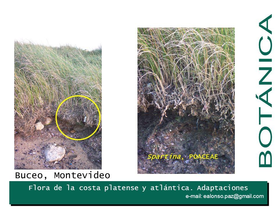 BOTÁNICA Buceo, Montevideo Spartina, POACEAE Iris