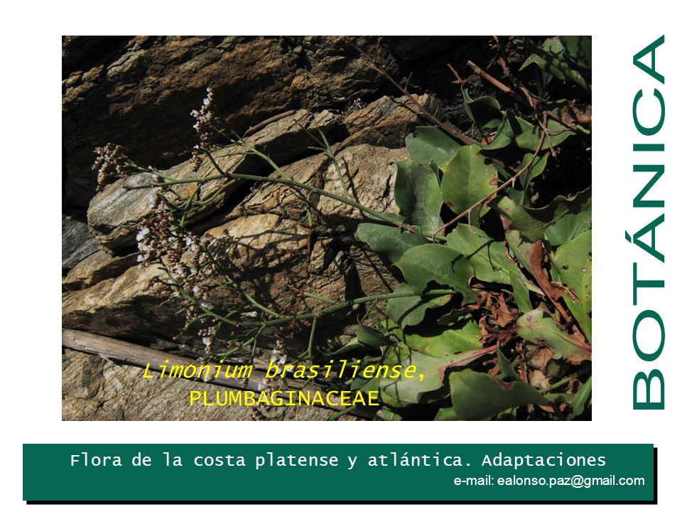 BOTÁNICA Limonium brasiliense, PLUMBAGINACEAE Iris