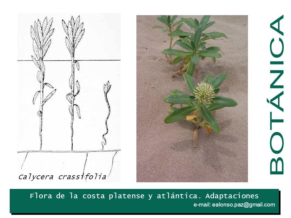 BOTÁNICA Iris Calycera crassifolia
