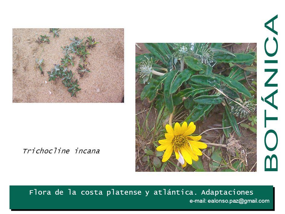 BOTÁNICA Trichocline incana Iris