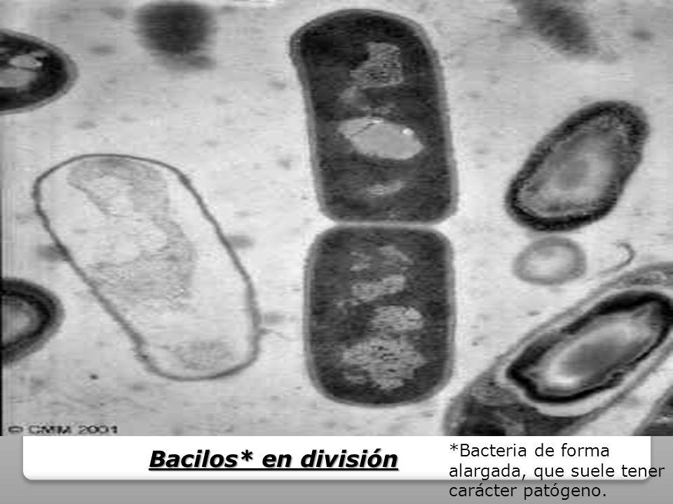 *Bacteria de forma alargada, que suele tener carácter patógeno.