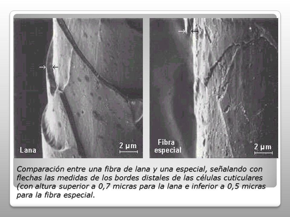 Comparación entre una fibra de lana y una especial, señalando con flechas las medidas de los bordes distales de las células cuticulares (con altura superior a 0,7 micras para la lana e inferior a 0,5 micras para la fibra especial.