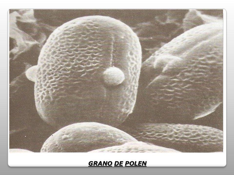 GRANO DE POLEN