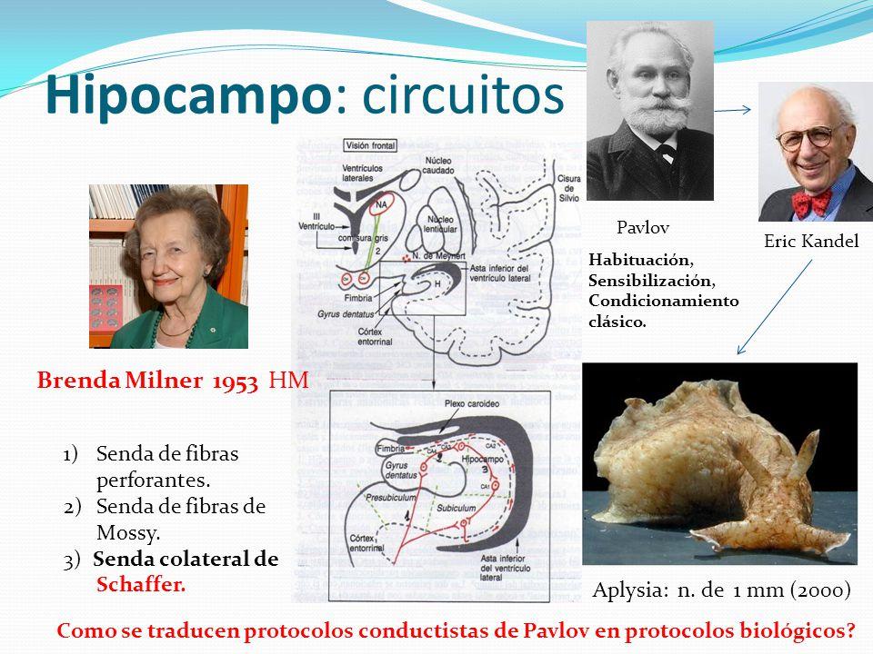 Hipocampo: circuitos Brenda Milner 1953 HM