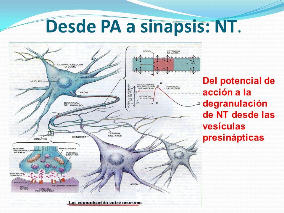 Desde PA a sinapsis: NT.