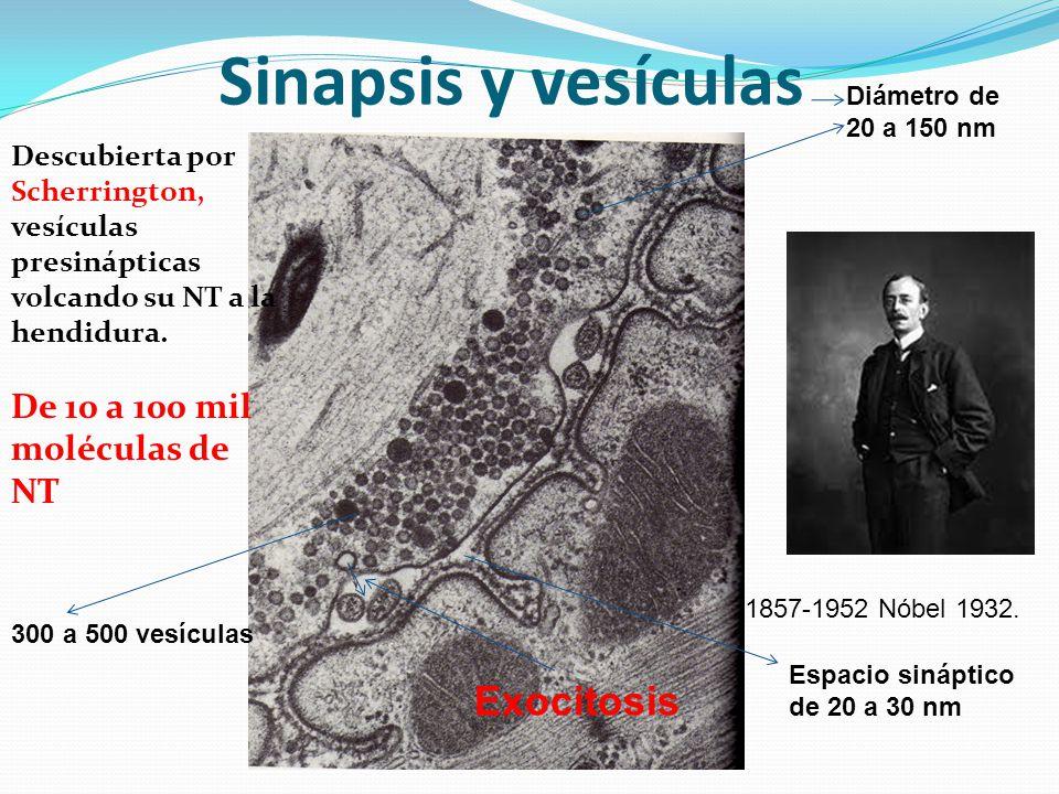 Sinapsis y vesículas Exocitosis De 10 a 100 mil moléculas de NT