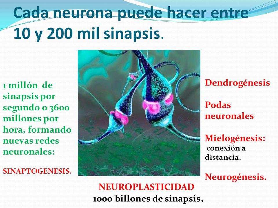 Cada neurona puede hacer entre 10 y 200 mil sinapsis.