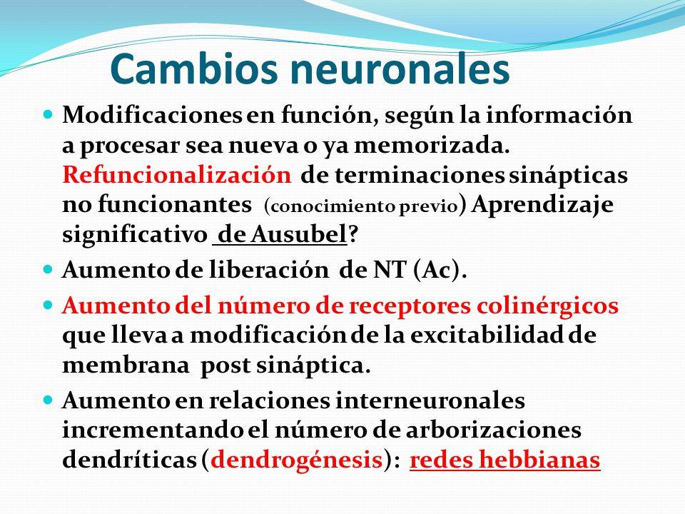 Cambios neuronales