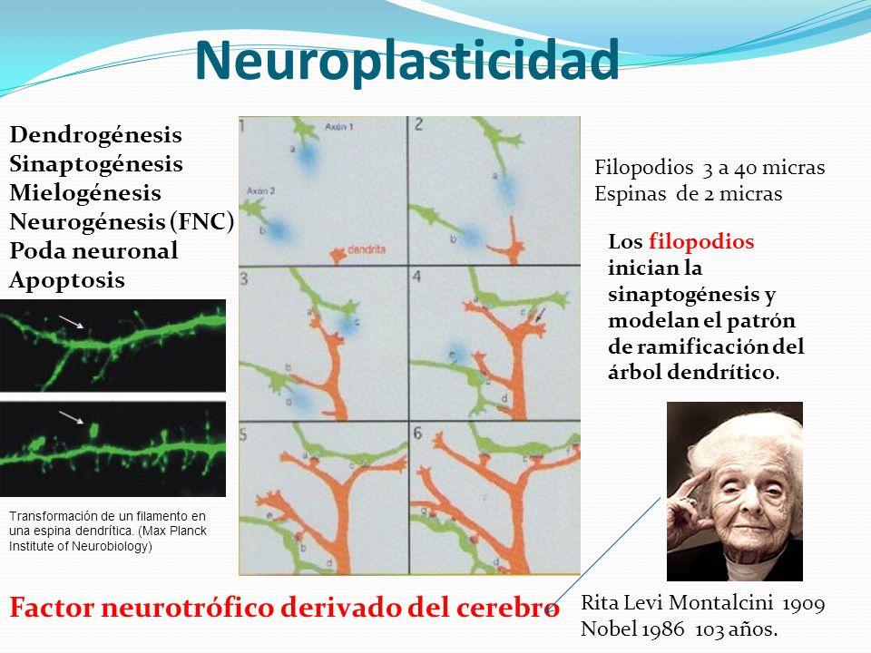 Neuroplasticidad Factor neurotrófico derivado del cerebro