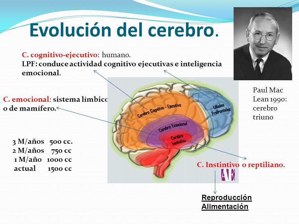 Evolución del cerebro. C. cognitivo-ejecutivo: humano.