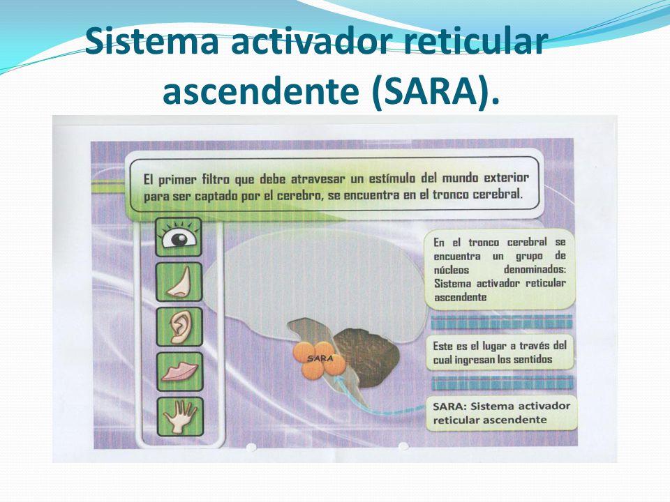 Sistema activador reticular ascendente (SARA).