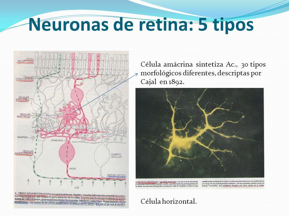 Neuronas de retina: 5 tipos