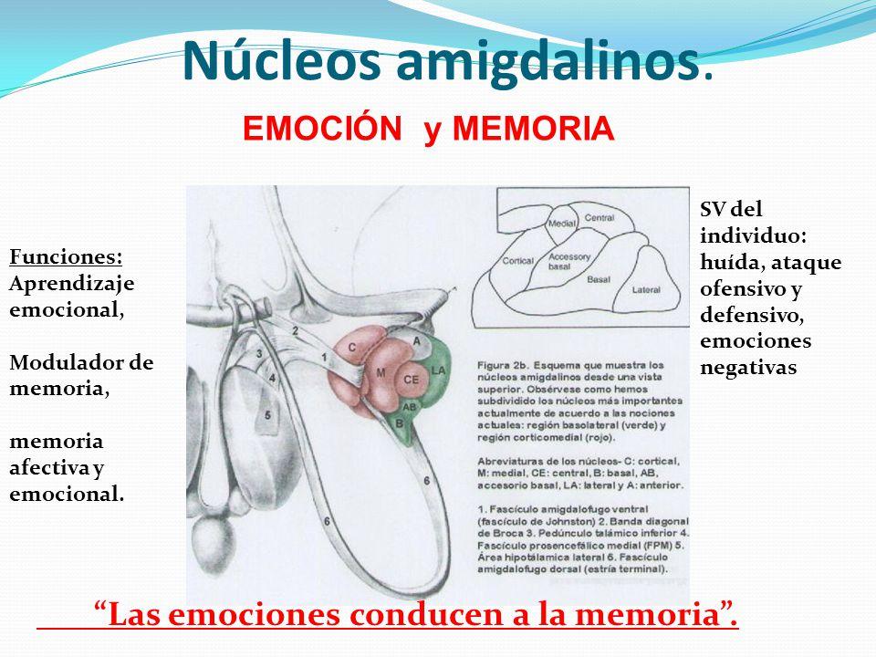 Núcleos amigdalinos. Las emociones conducen a la memoria .