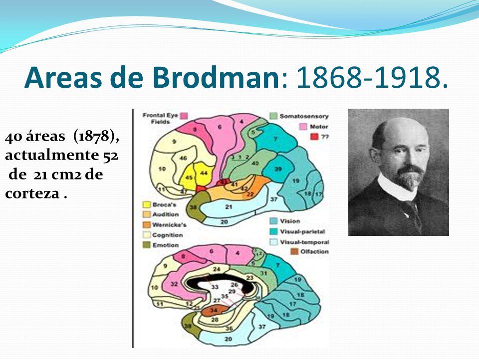 Areas de Brodman: 1868-1918. 40 áreas (1878), actualmente 52