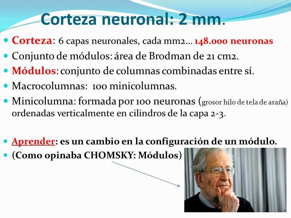 Corteza neuronal: 2 mm. Corteza: 6 capas neuronales, cada mm2… 148.000 neuronas. Conjunto de módulos: área de Brodman de 21 cm2.
