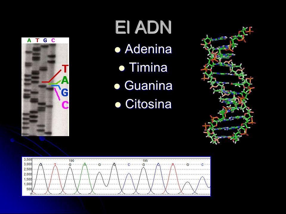 El ADN Adenina Timina Guanina Citosina