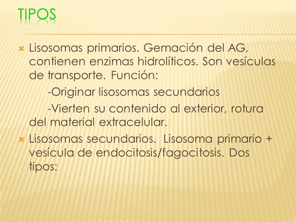 Tipos Lisosomas primarios. Gemación del AG, contienen enzimas hidrolíticos. Son vesículas de transporte. Función: