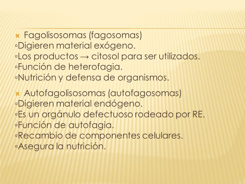 Fagolisosomas (fagosomas)