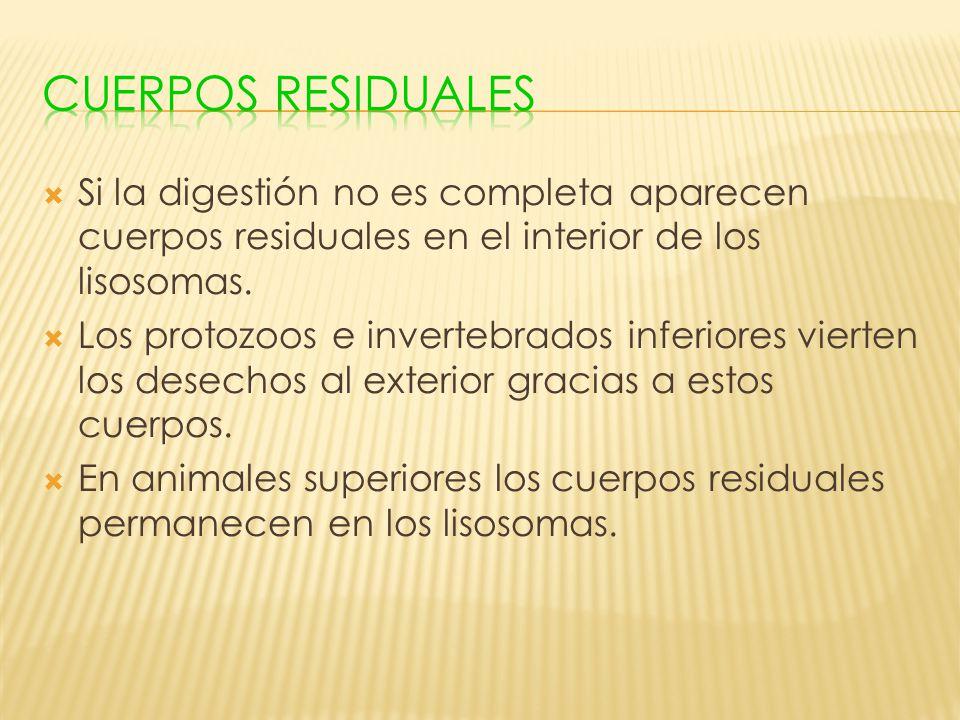 Cuerpos residuales Si la digestión no es completa aparecen cuerpos residuales en el interior de los lisosomas.