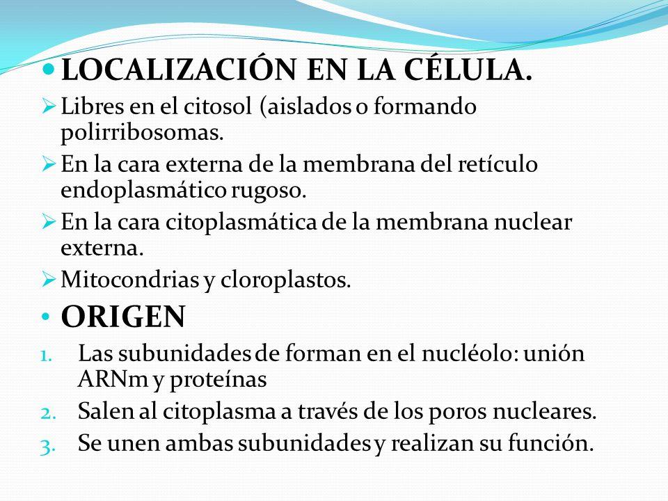 LOCALIZACIÓN EN LA CÉLULA.