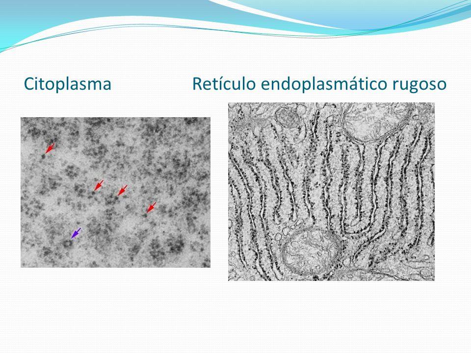 Citoplasma Retículo endoplasmático rugoso