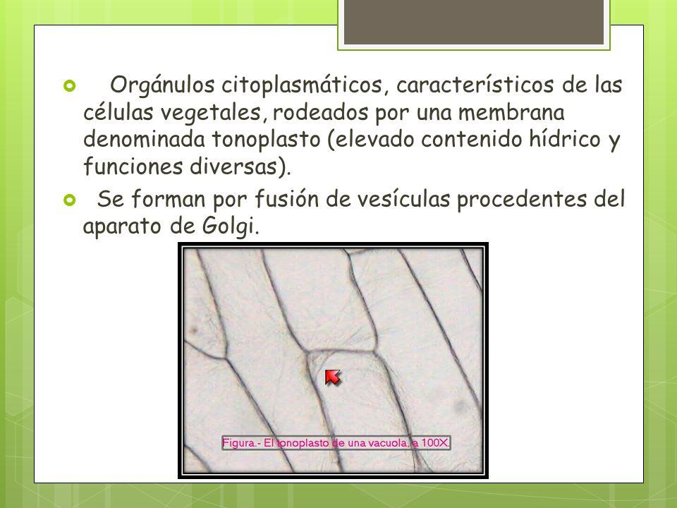 Orgánulos citoplasmáticos, característicos de las células vegetales, rodeados por una membrana denominada tonoplasto (elevado contenido hídrico y funciones diversas).