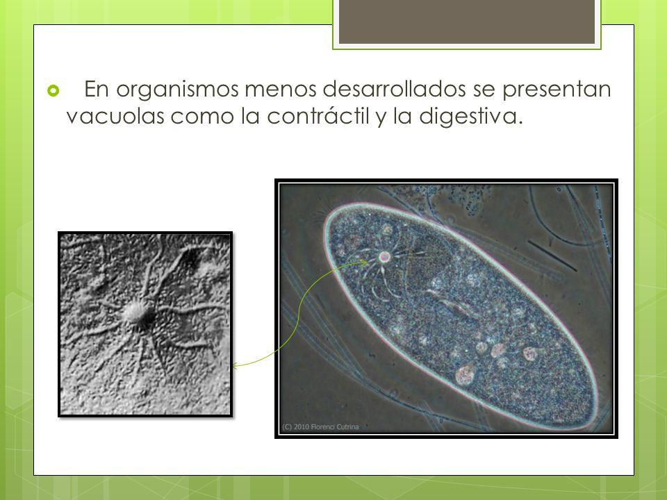 En organismos menos desarrollados se presentan vacuolas como la contráctil y la digestiva.