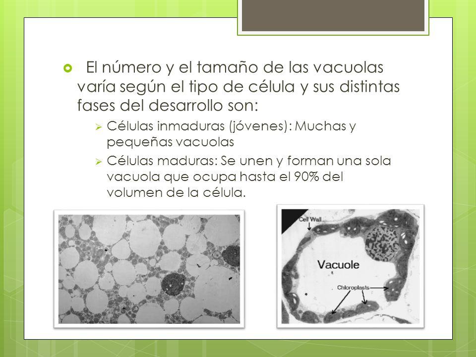 El número y el tamaño de las vacuolas varía según el tipo de célula y sus distintas fases del desarrollo son: