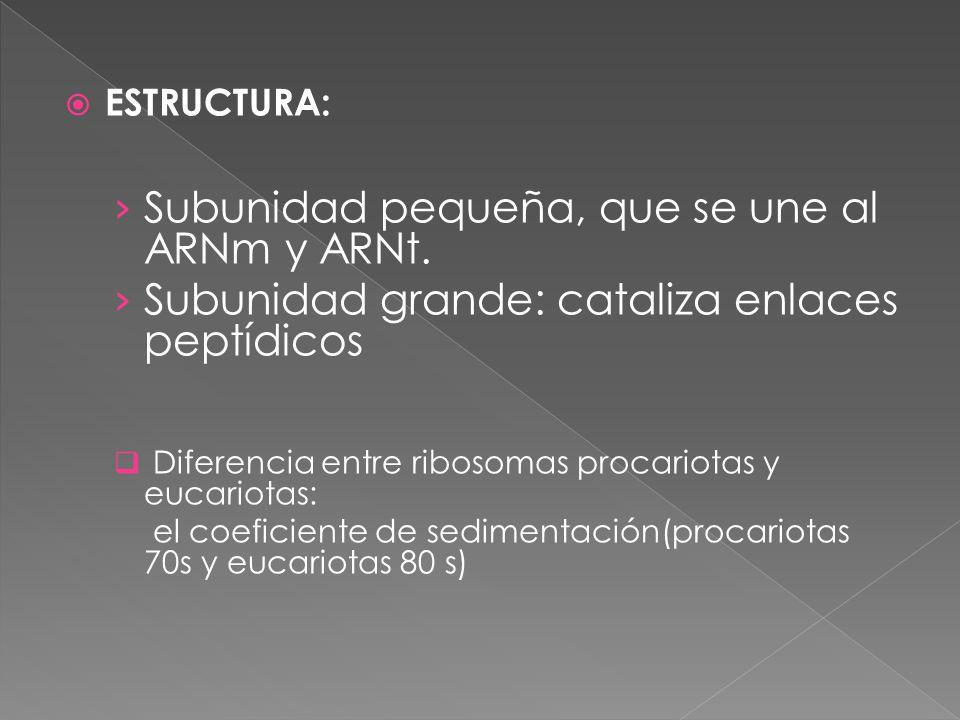 Subunidad pequeña, que se une al ARNm y ARNt.