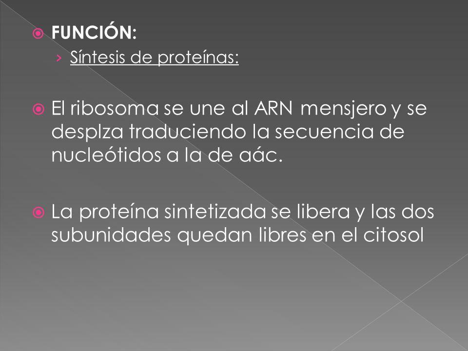 FUNCIÓN: Síntesis de proteínas: El ribosoma se une al ARN mensjero y se desplza traduciendo la secuencia de nucleótidos a la de aác.