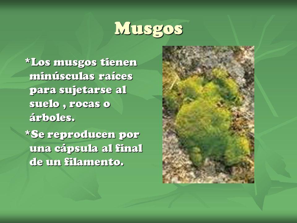 Musgos *Los musgos tienen minúsculas raíces para sujetarse al suelo , rocas o árboles.