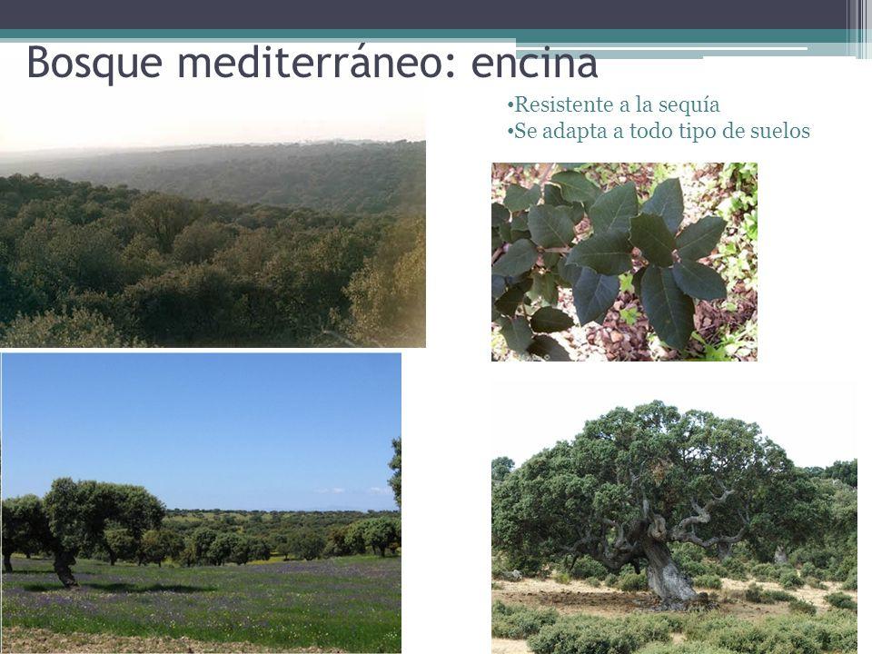 Bosque mediterráneo: encina